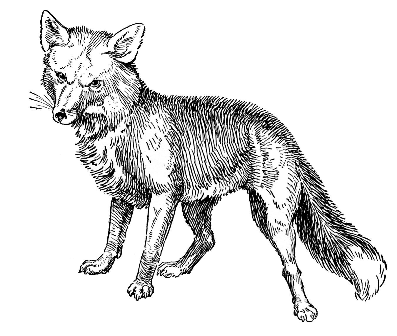 Fox clipart vintage. Animal clip art drawings
