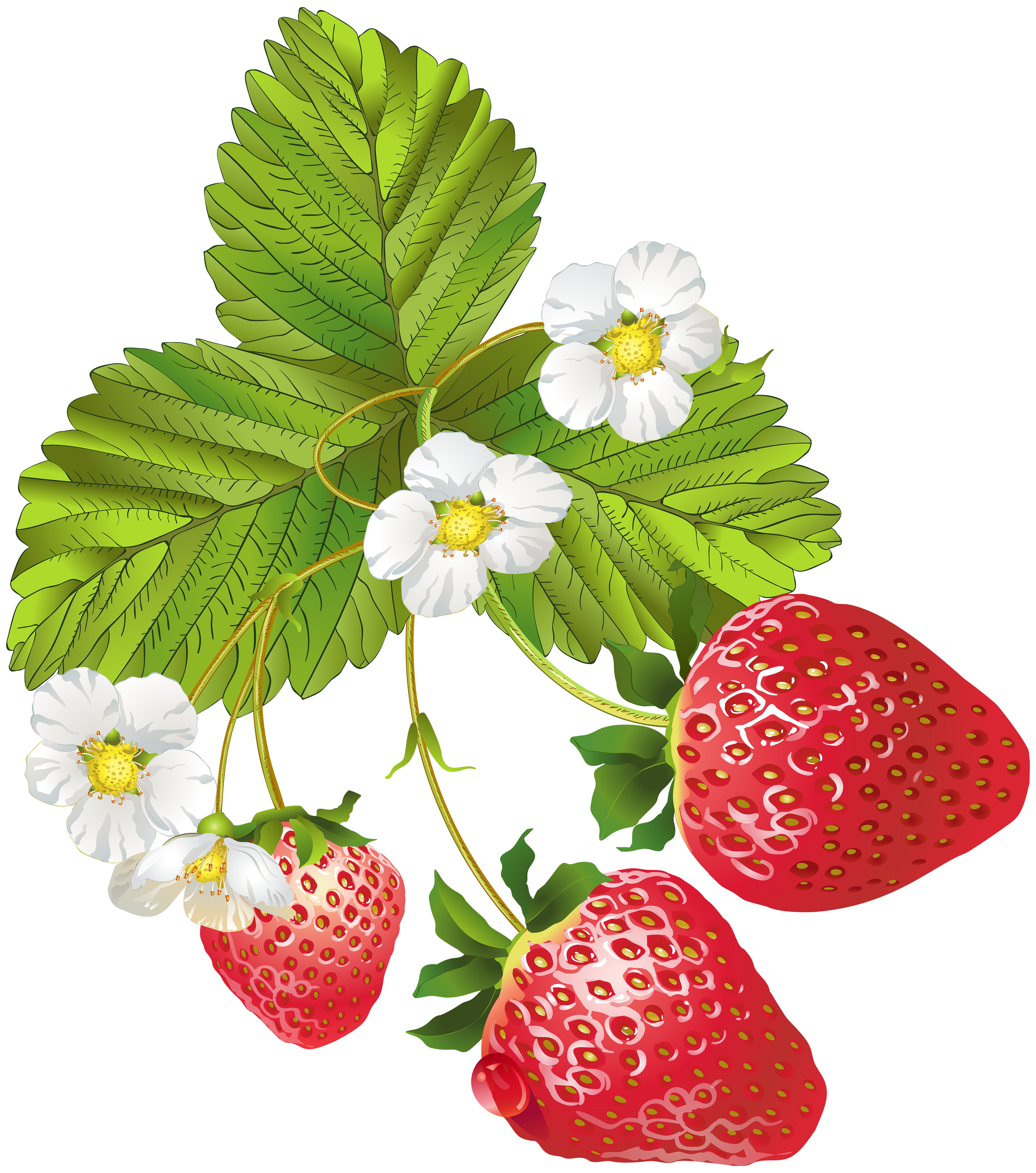 Strawberries clipart watermelon. Blooming png clip art