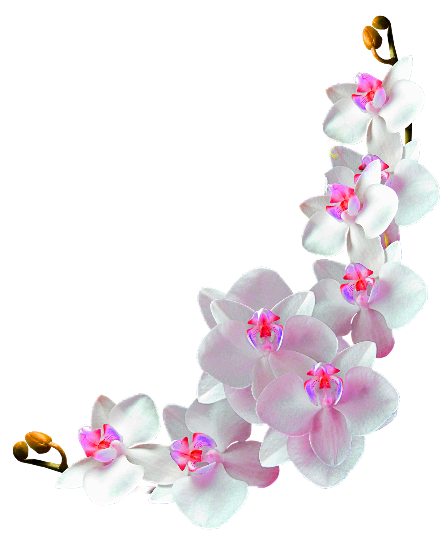 Orchids film photography clip. Orchid clipart frame