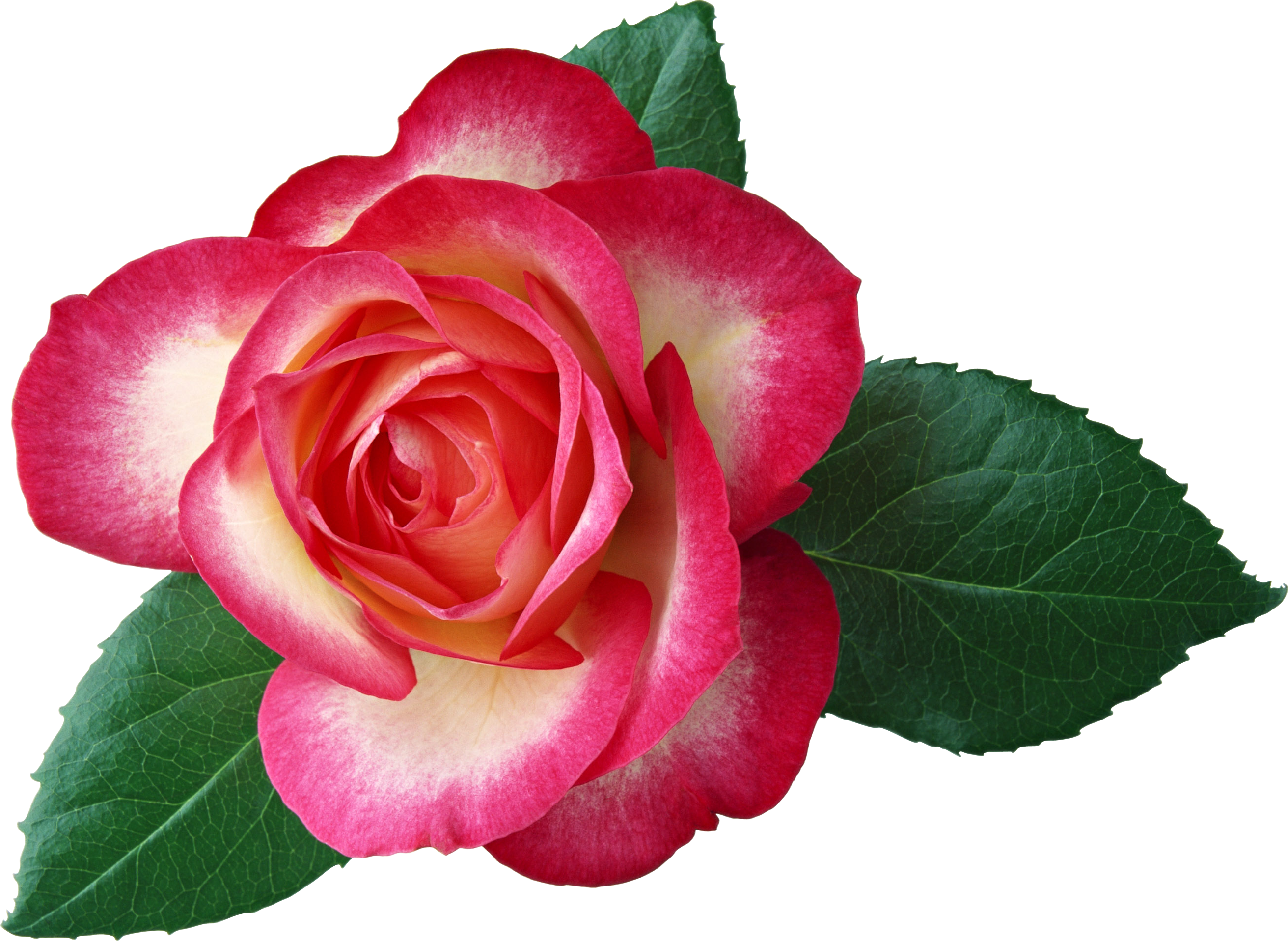 Large rose picture gallery. Worm clipart realistic
