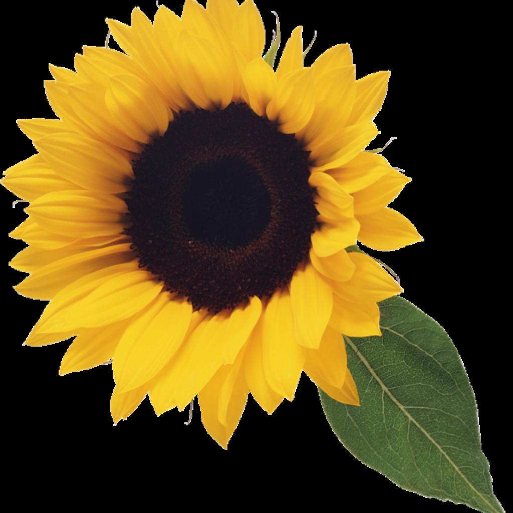 Free clipart sunflower. Computer hatenylo com clip