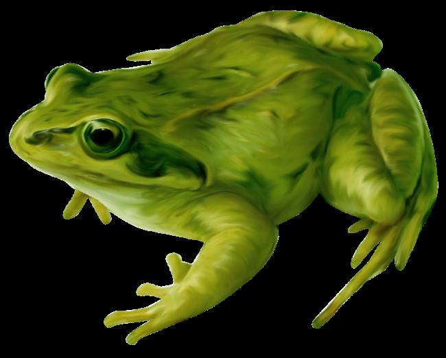 Amphibian drawing clip art. Clipart frog bullfrog