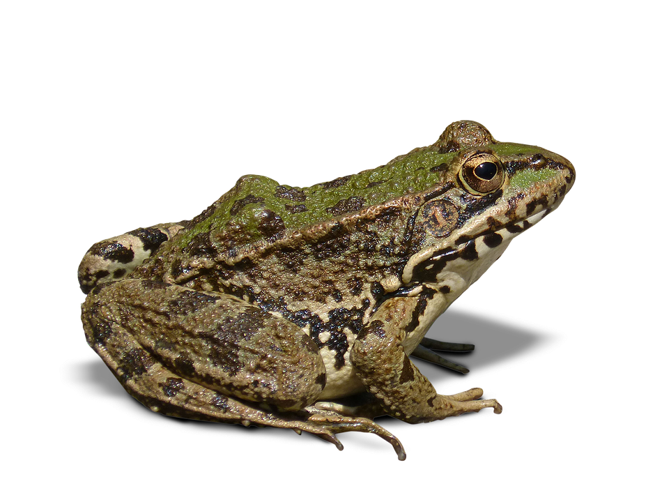 Frog clipart bullfrog. Icon web icons png