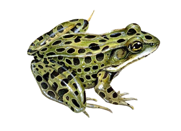 Northern leopard southern pickerel. Frog clipart bullfrog