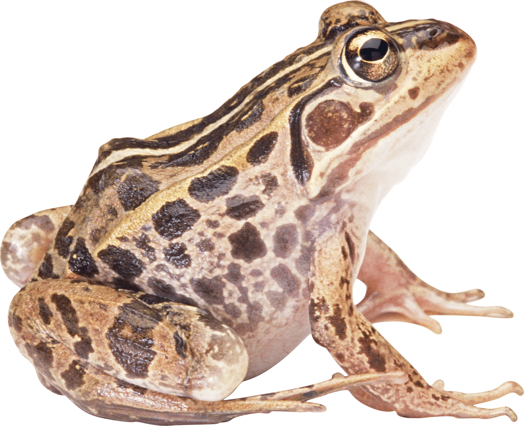 Clipart frog bullfrog. Brown sideview transparent png