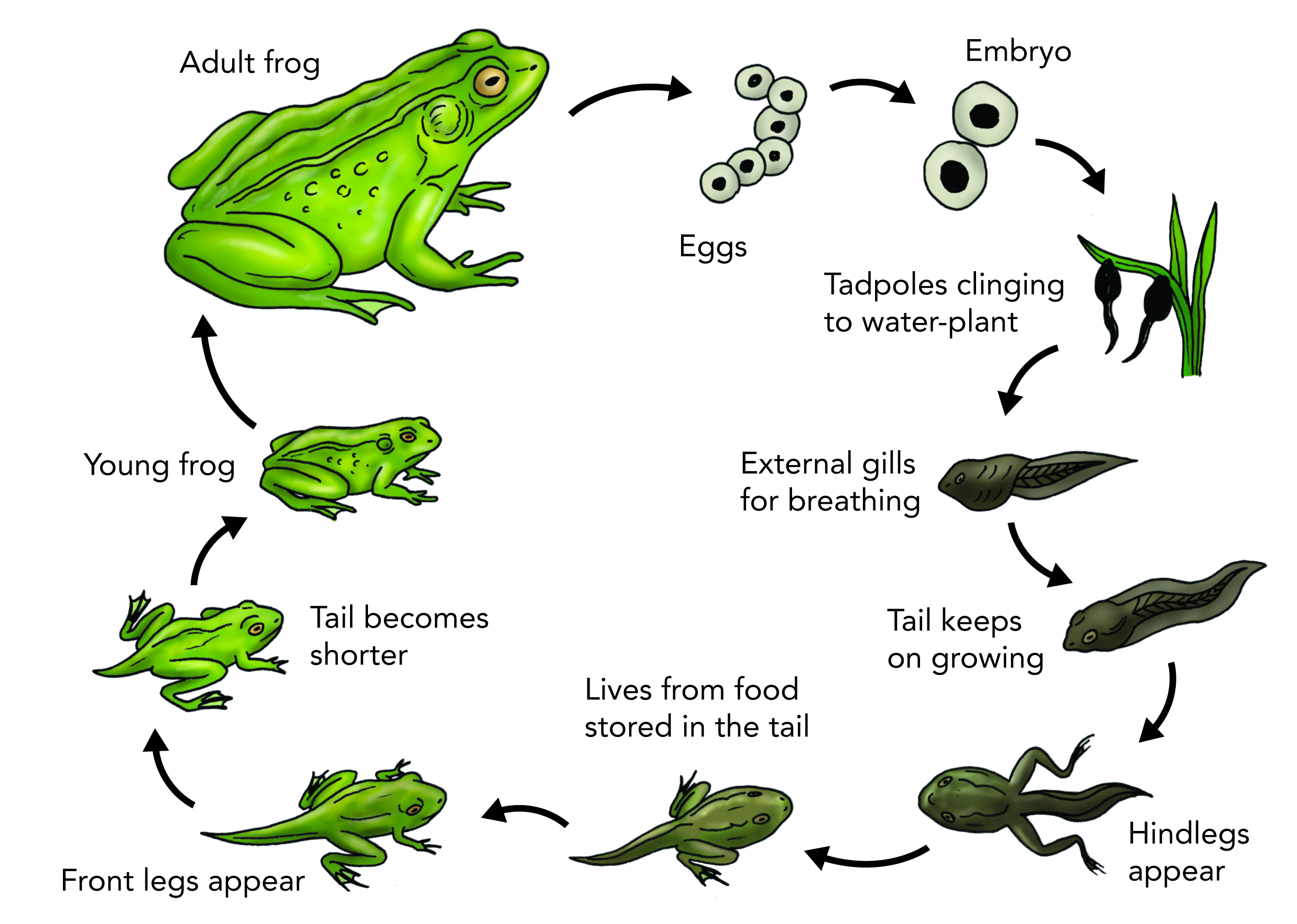 Scientist clipart frog. Image result for cycle