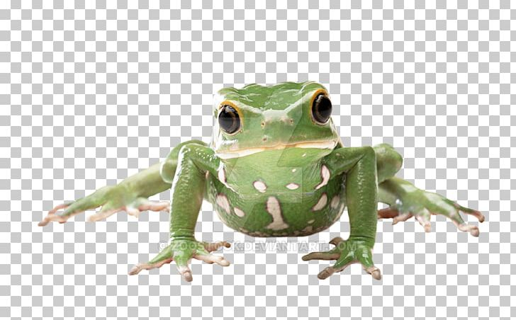 True amphibian tree png. Toad clipart glass frog