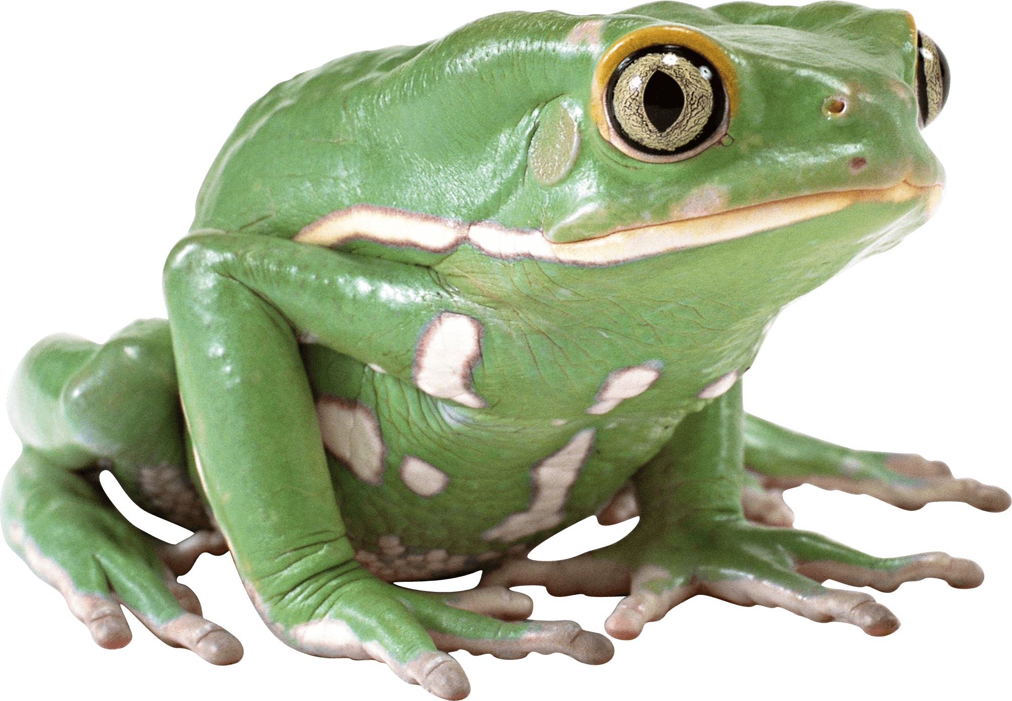 Frogs clipart clear background. Side view green frog