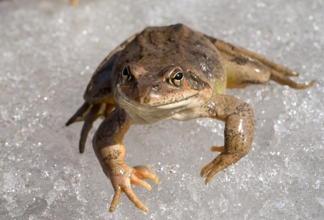 clipart frog winter