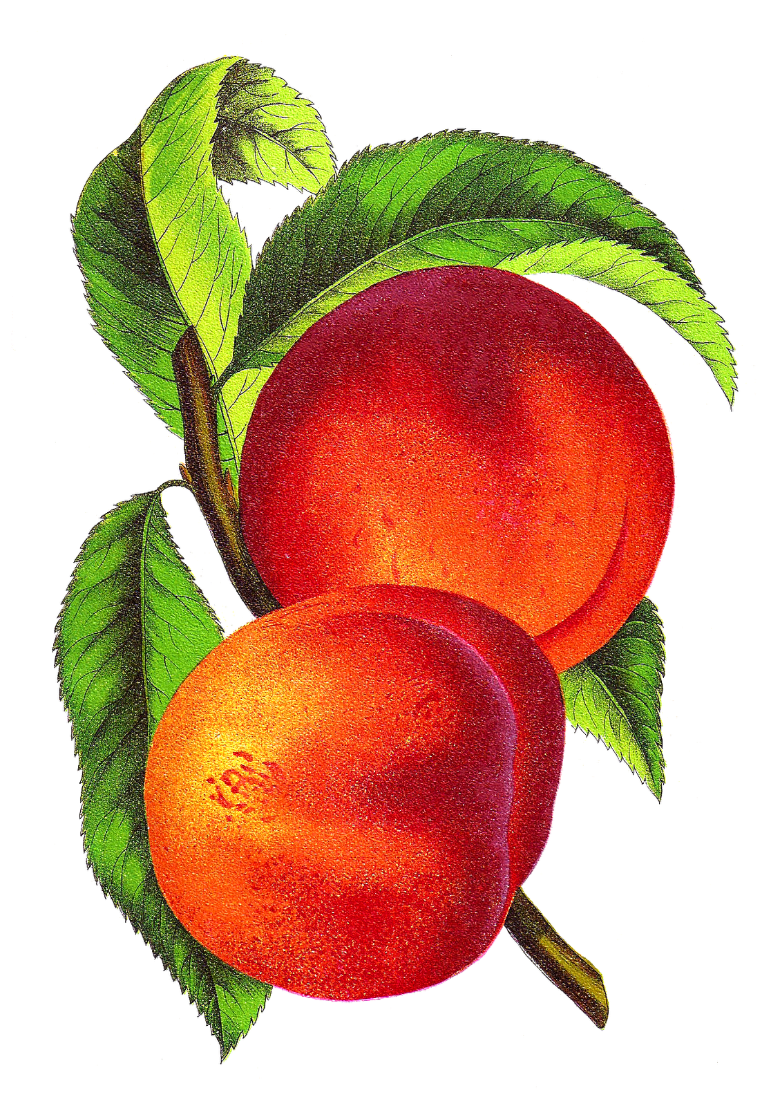 Dishes clipart plain. Vintage peach illustration alberta
