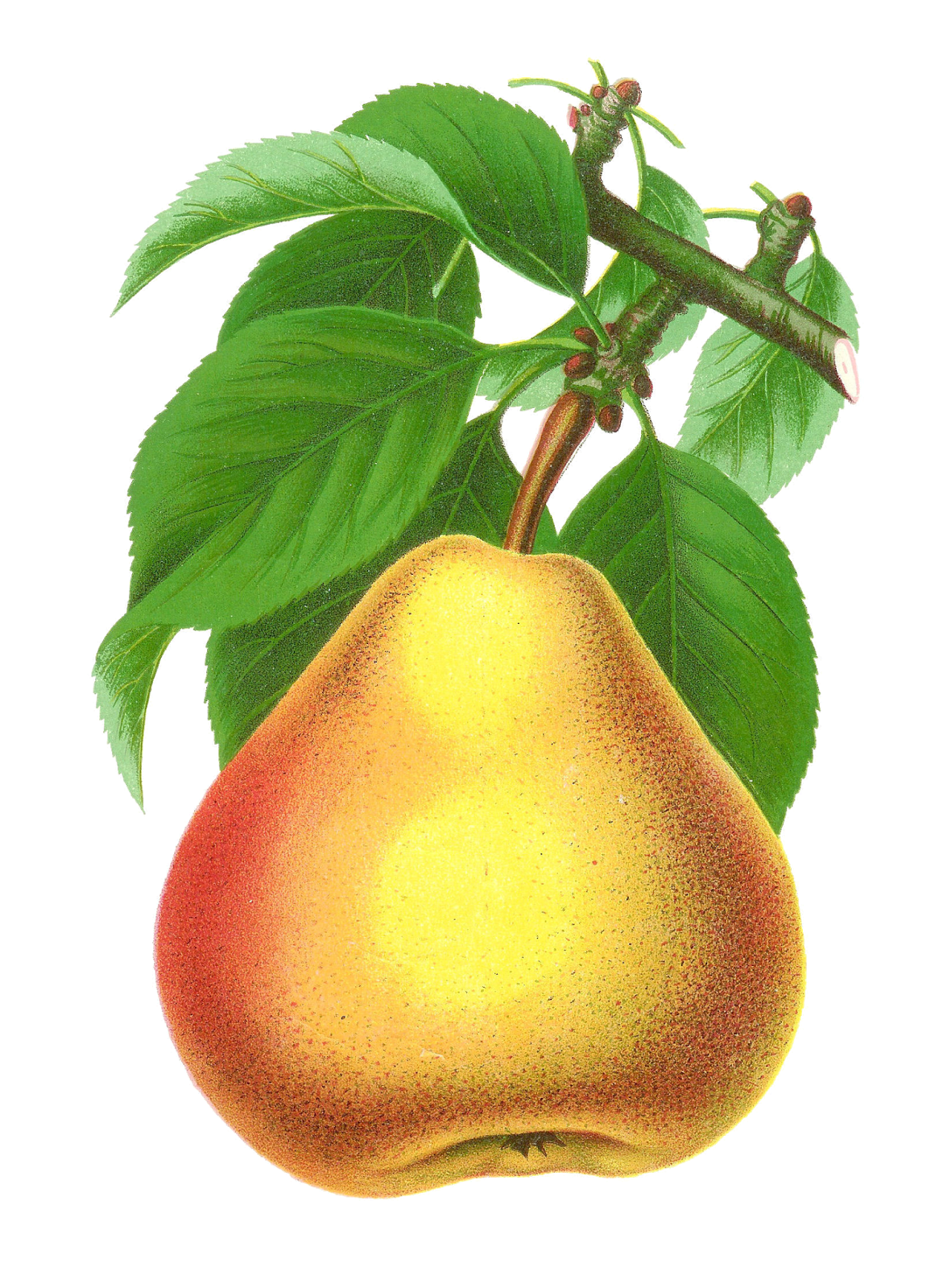 Pear clipart pear fruit. Antique images digital stock