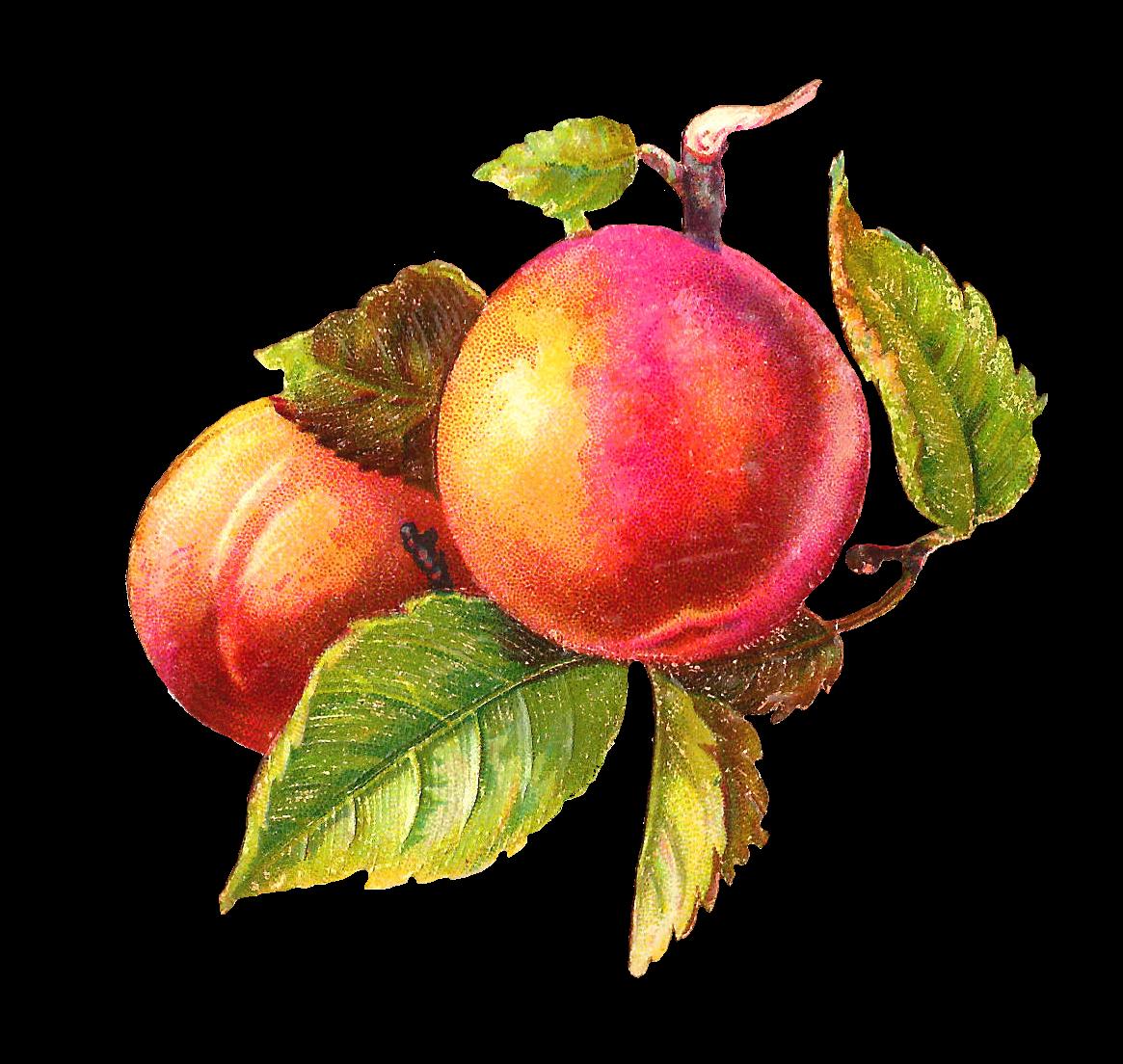 Antique images free fruit. Fruits clipart victorian