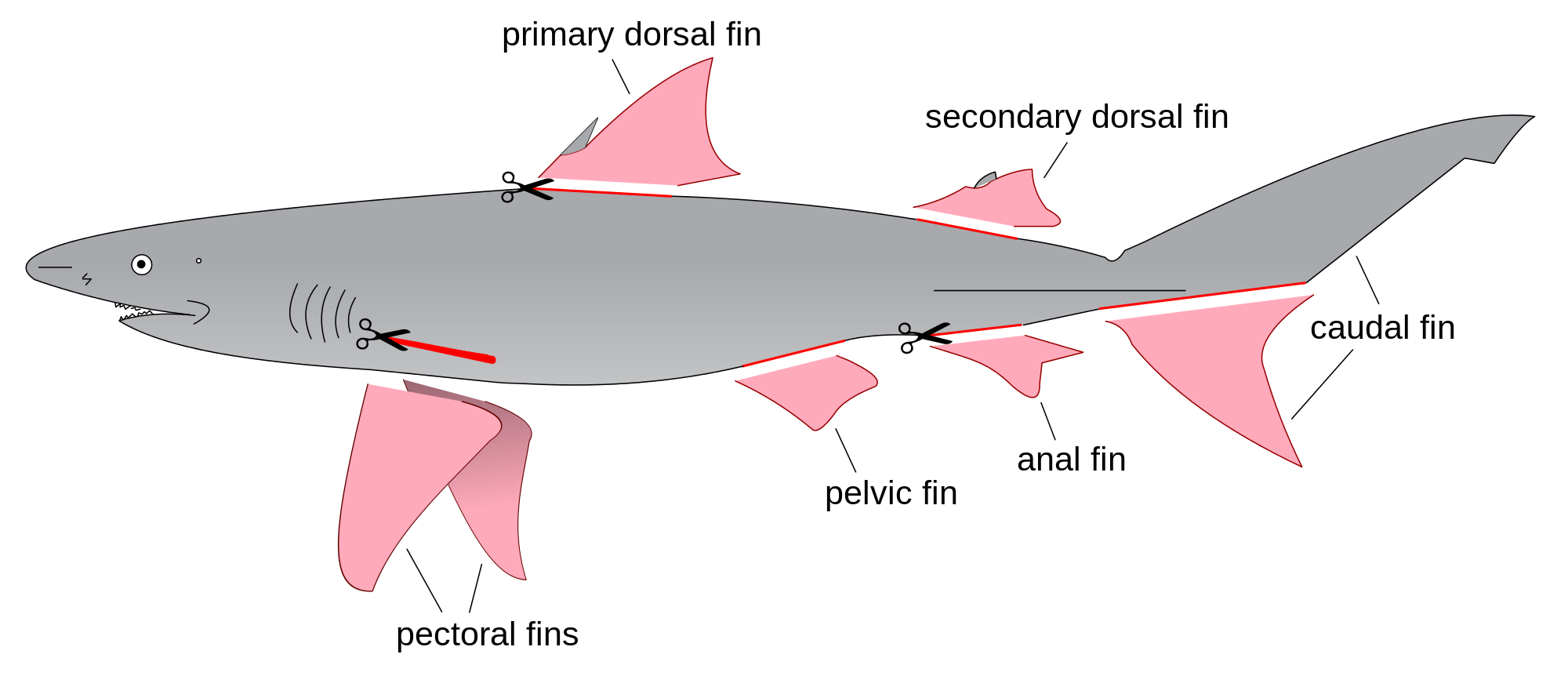 Fin drawing at getdrawings. Clipart shark template