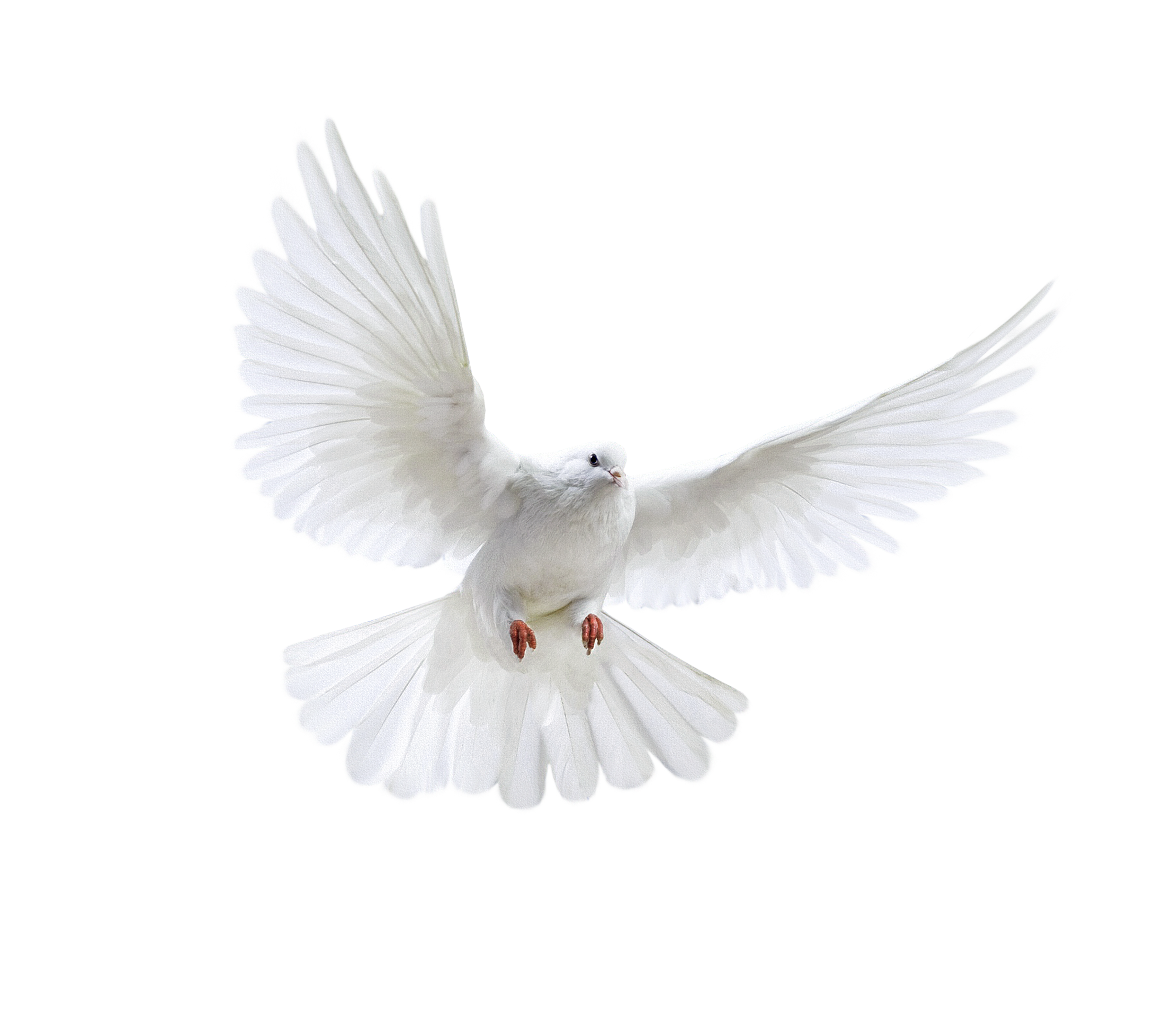 White dove four isolated. Doves clipart printable