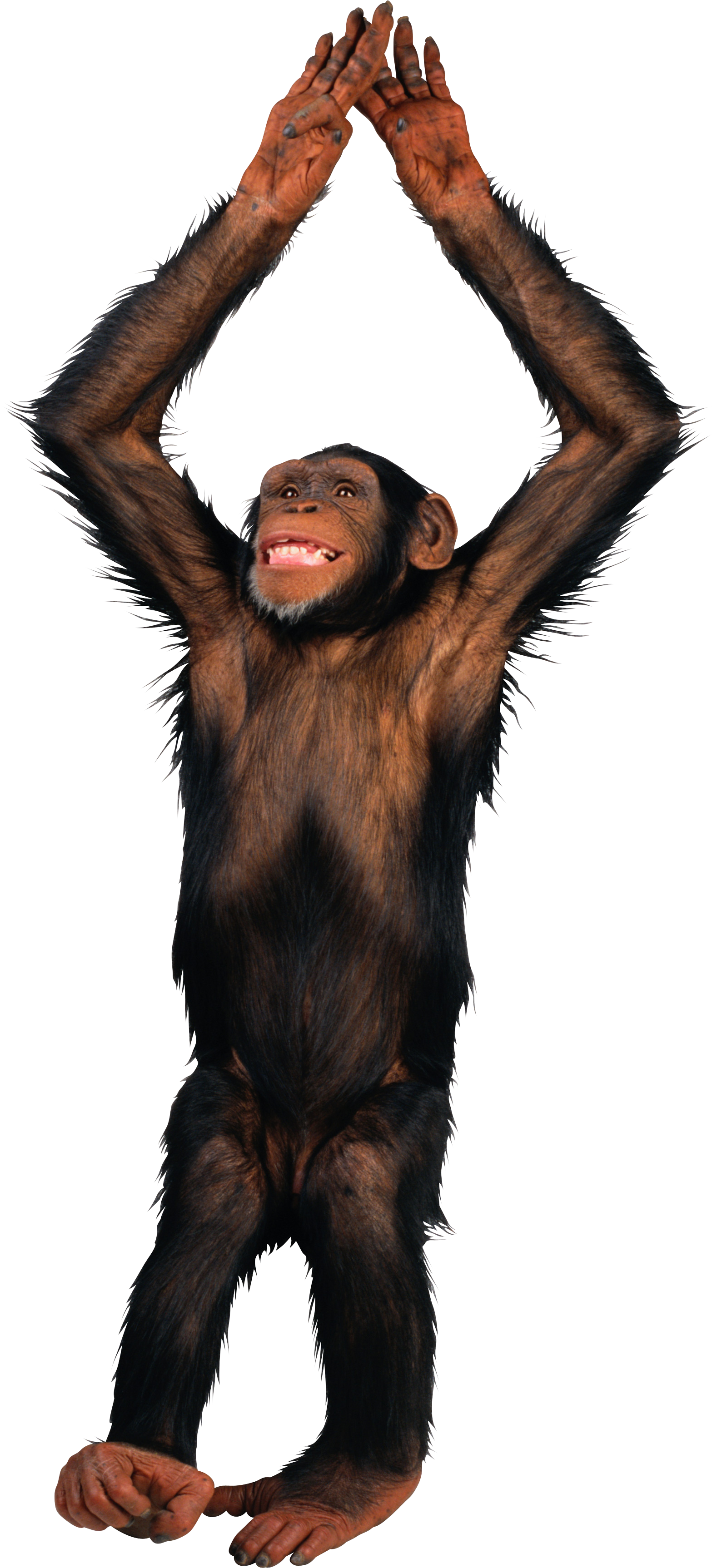 Monkey png transparent images. Monkeys clipart chimpanzee