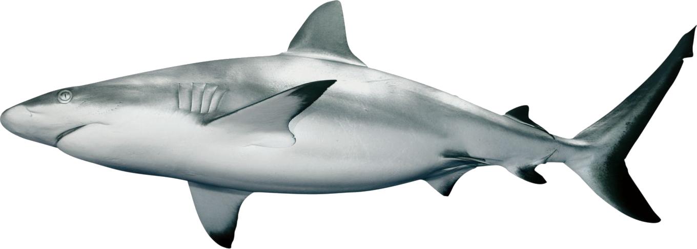 Png animal pinterest. Clipart shark blacktip shark
