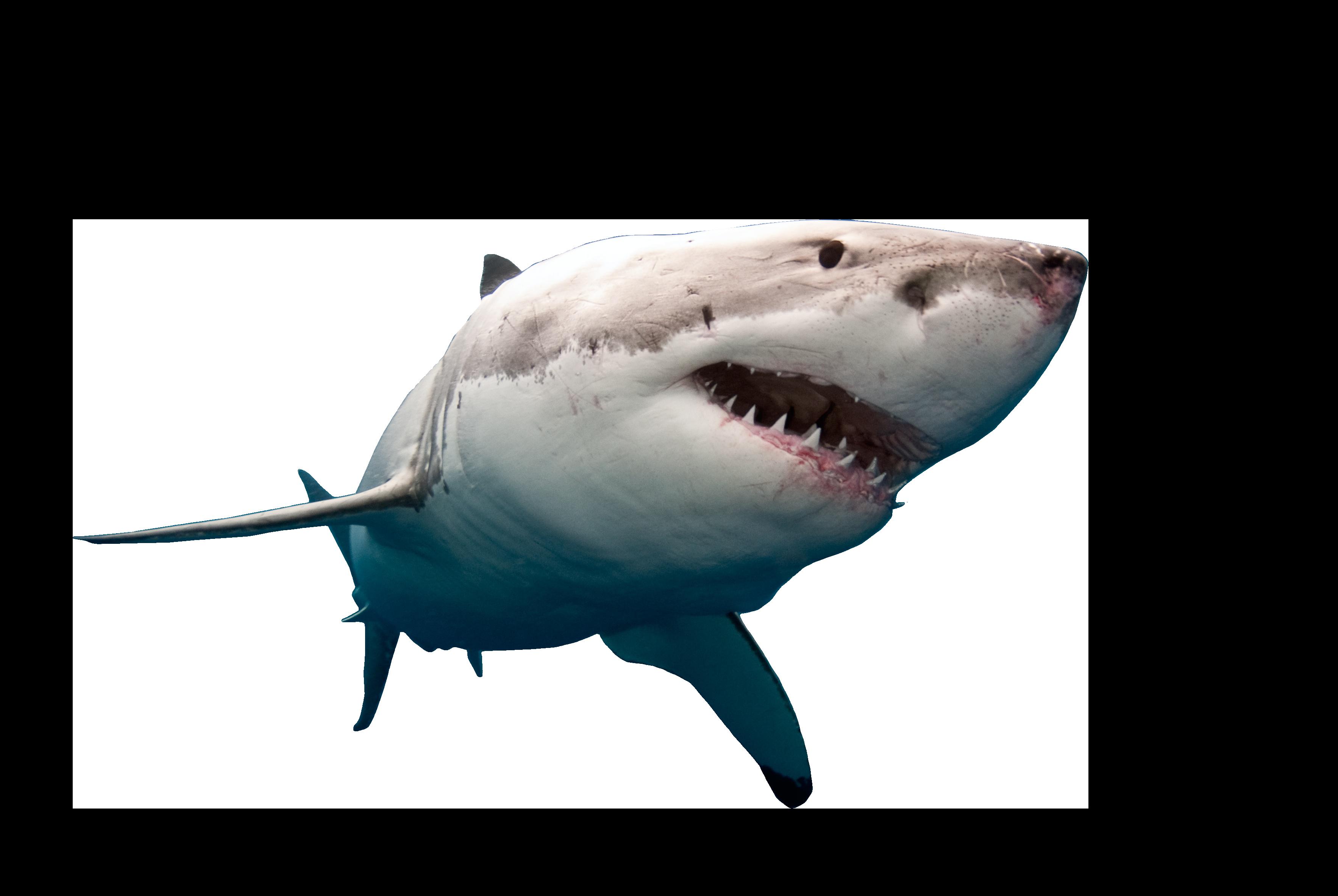 Clipart shark bull shark. Swimming png image purepng