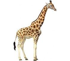 Clipart giraffe. Clip art royalty free