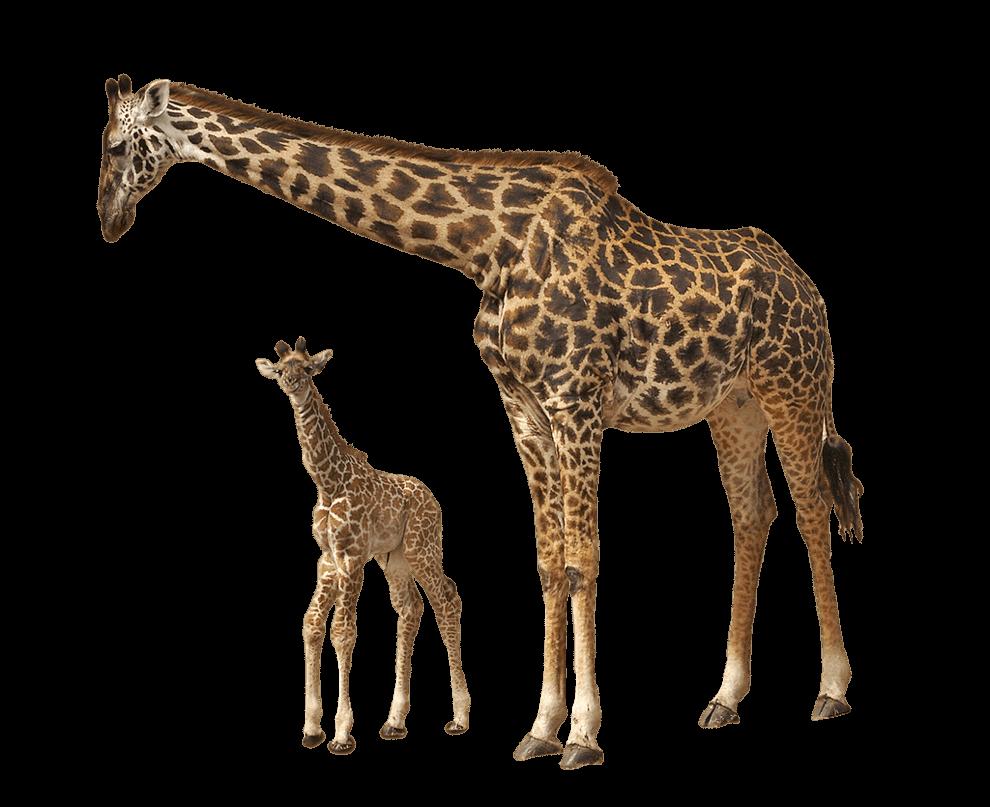 Giraffe clipart adaptation. Baby transparent png stickpng