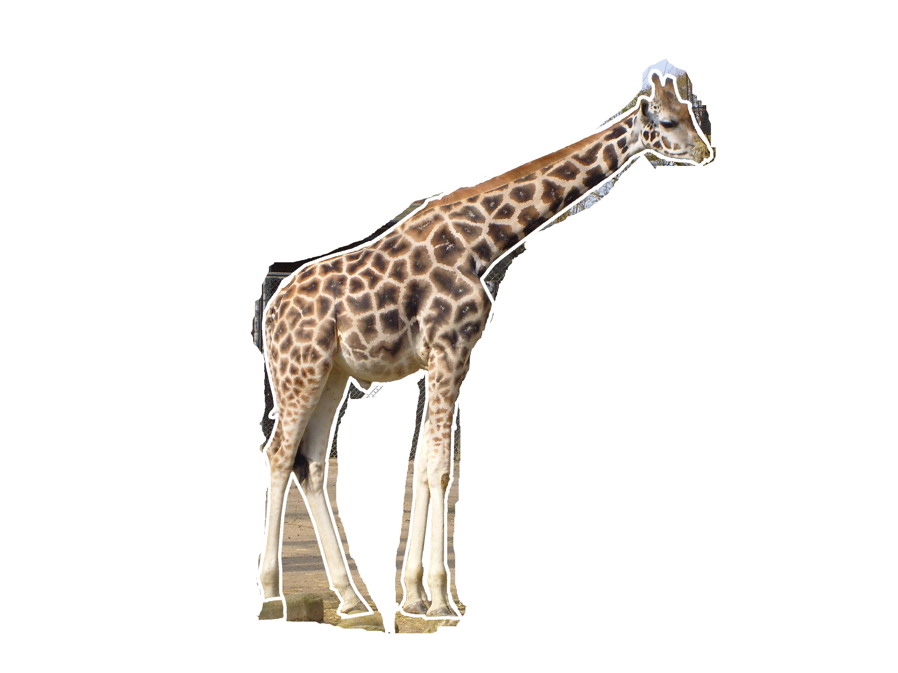. Clipart png giraffe