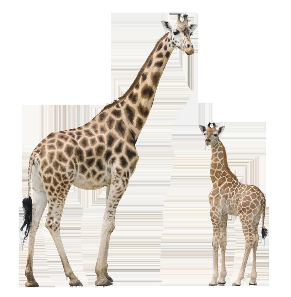Rs d giraffes masked. Giraffe clipart realistic