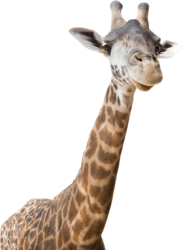 Giraffe clipart zoo animal. Real png transparent images