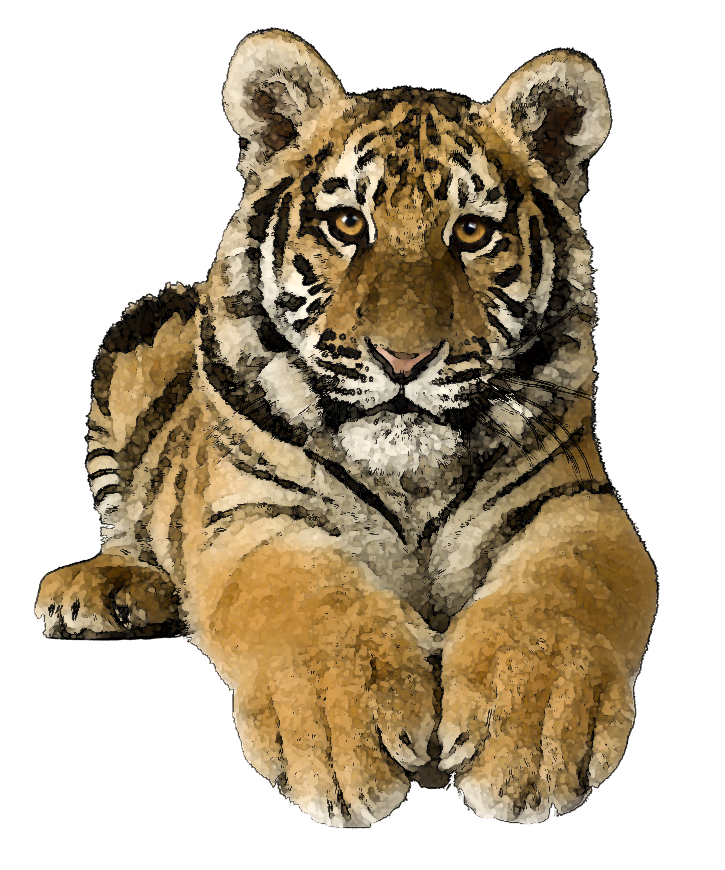 Realistic tiger pencil and. Paws clipart saber