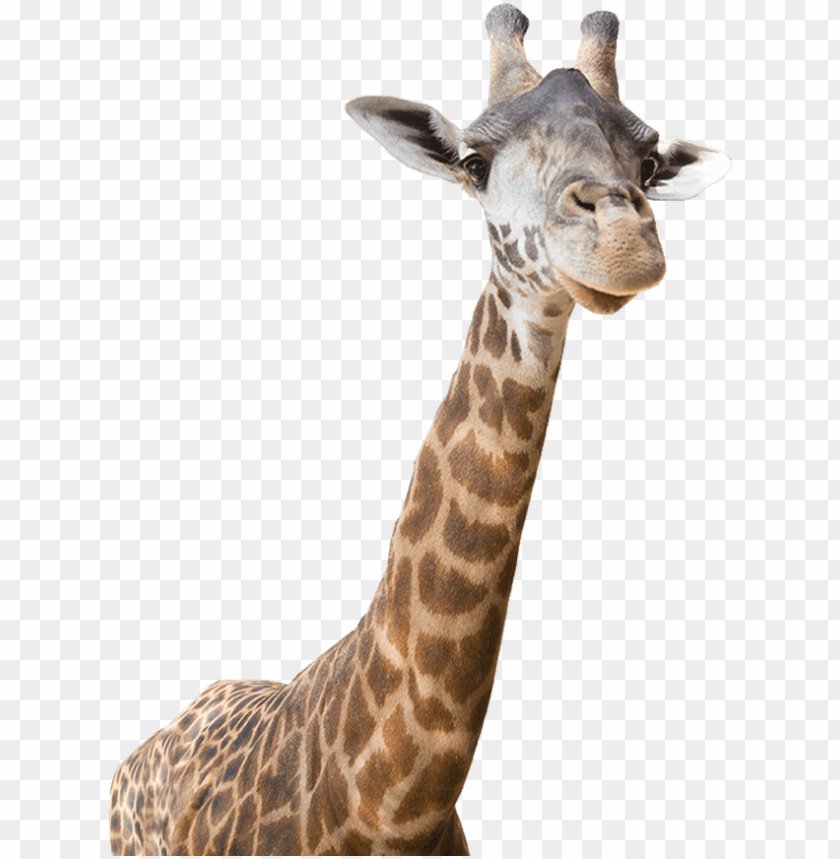 Freeuse download real . Giraffe clipart realistic