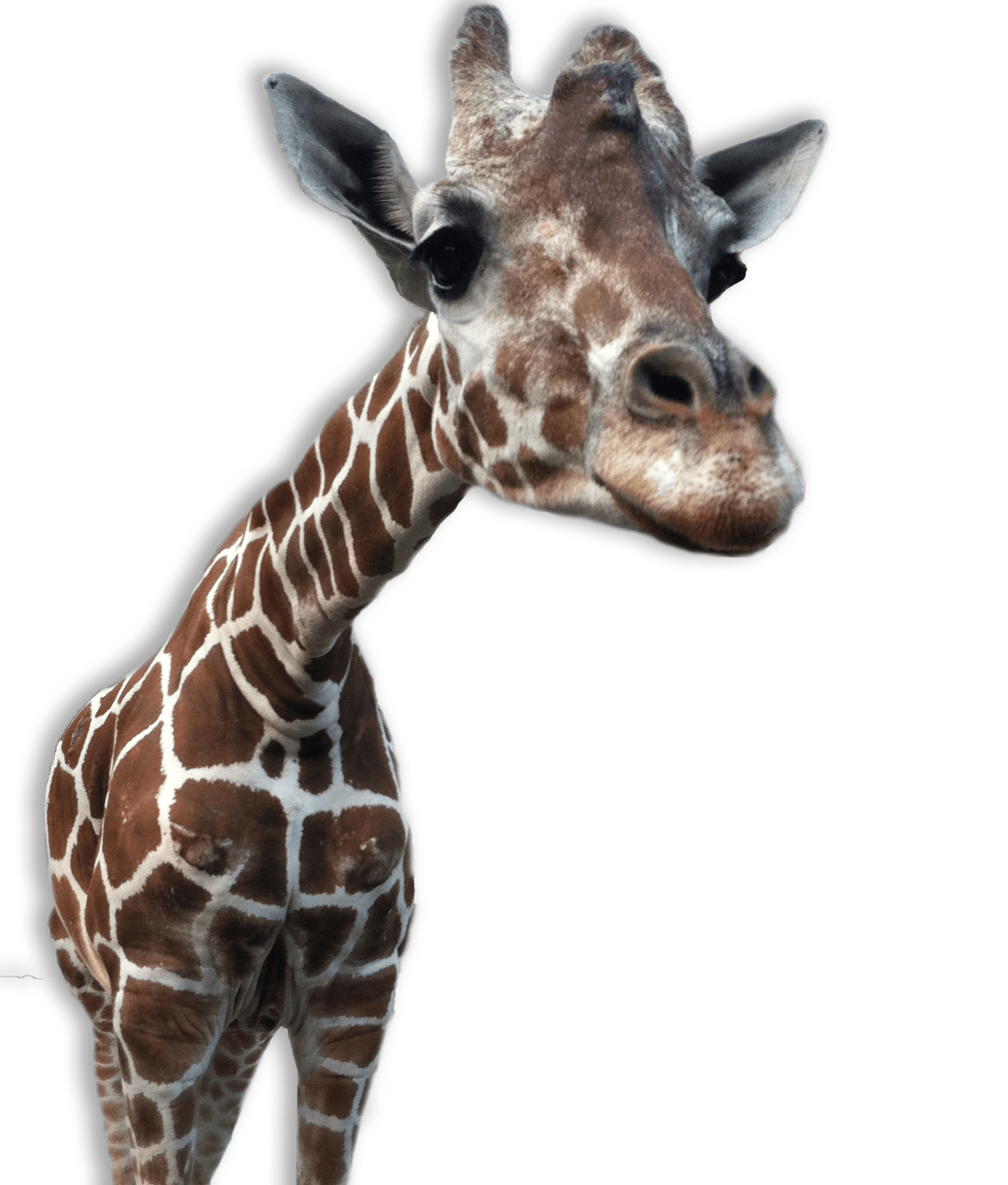 Giraffe clipart terrestrial animal. Transparent png stickpng close
