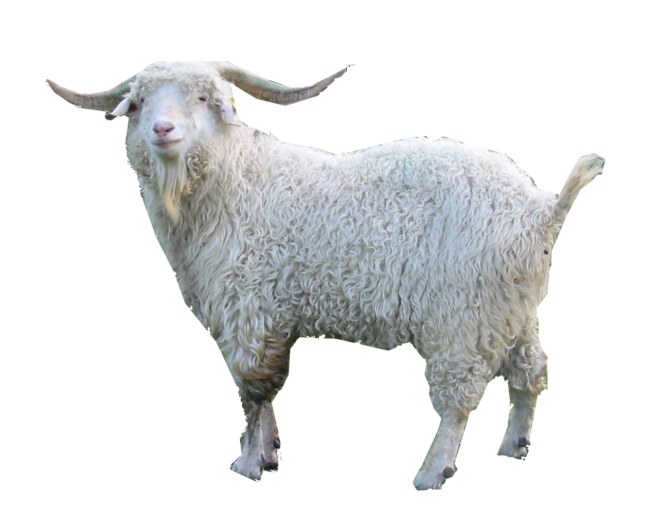 Png transparent images pluspng. Goat clipart kambing