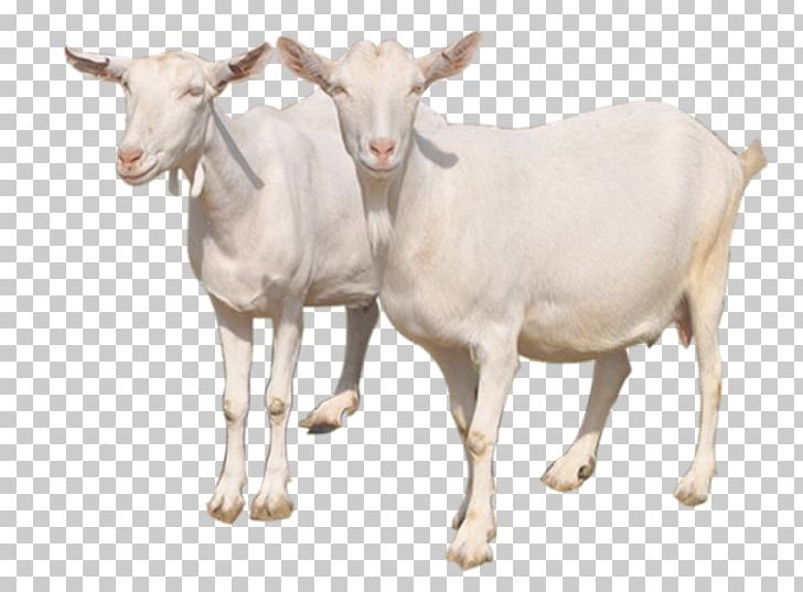 Sheep milk cattle png. Clipart goat carabao