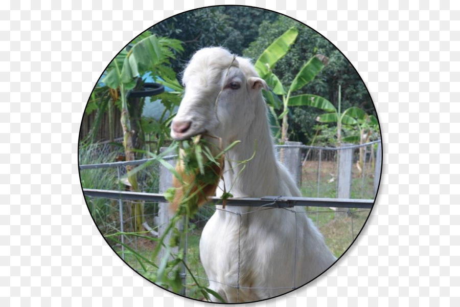 Cartoon png download free. Clipart goat carabao