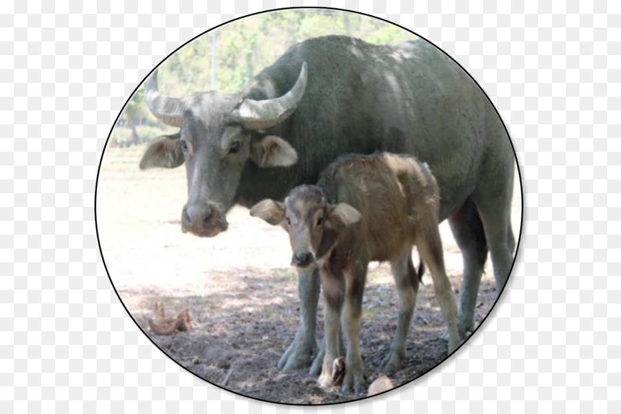 Clipart goat carabao. Cartoon png download free