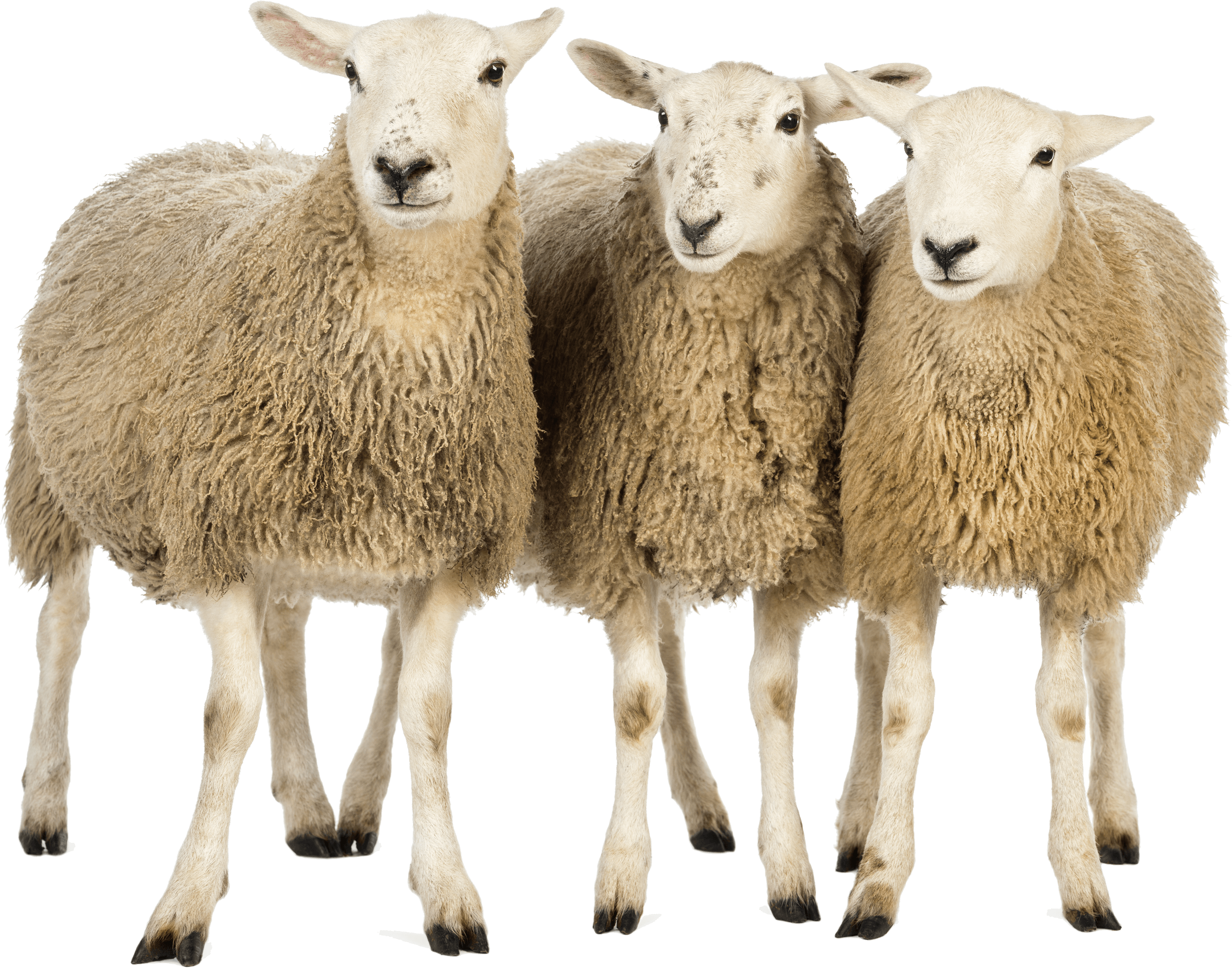 Three sheep transparent png. Clipart goat herd goat