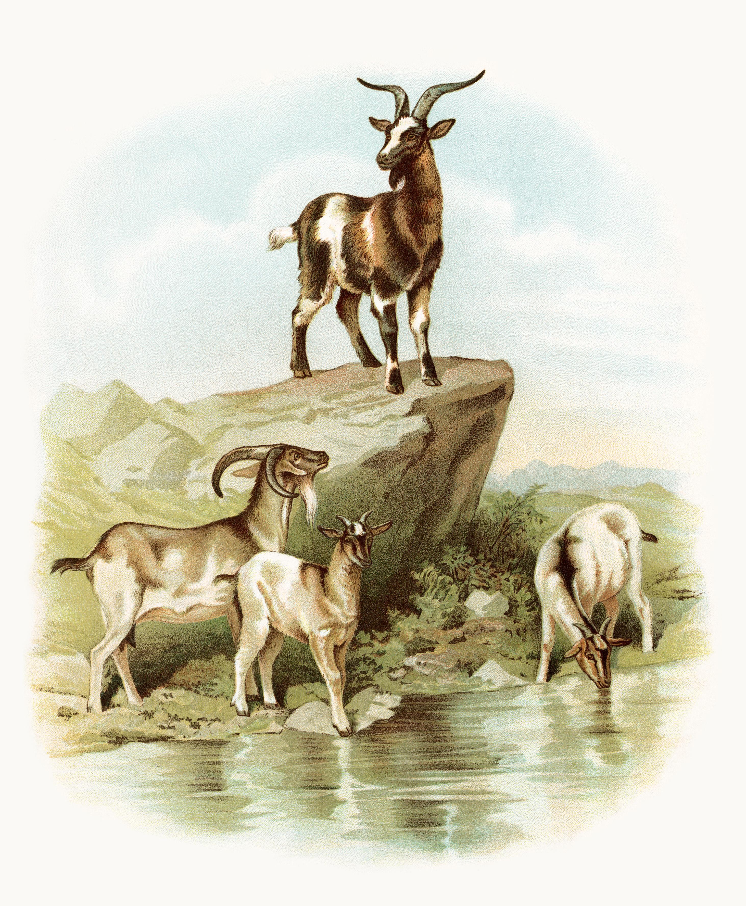 Clipart goat herd goat. Free vintage image goats