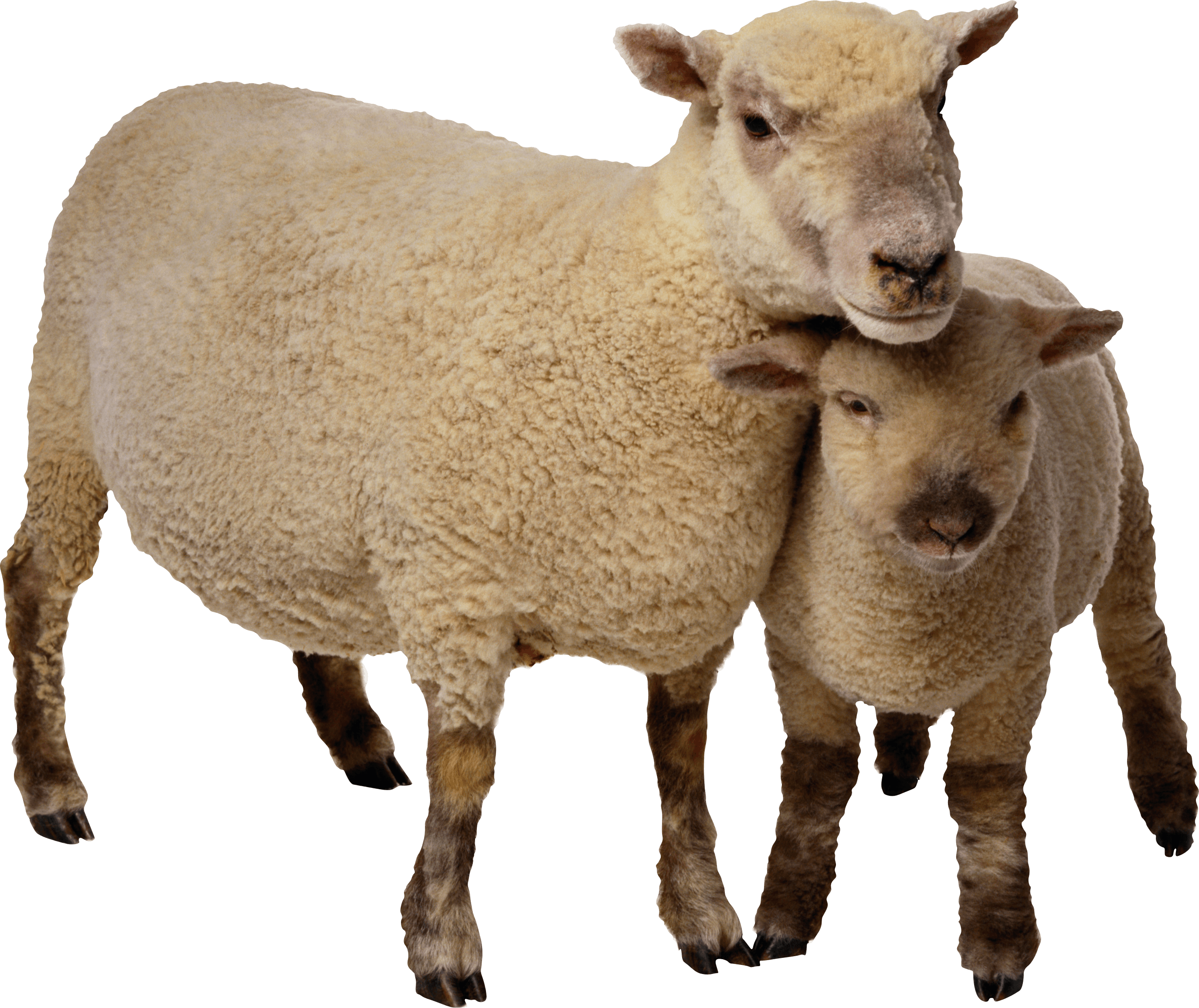 Sheep Mother and Baby transparent PNG