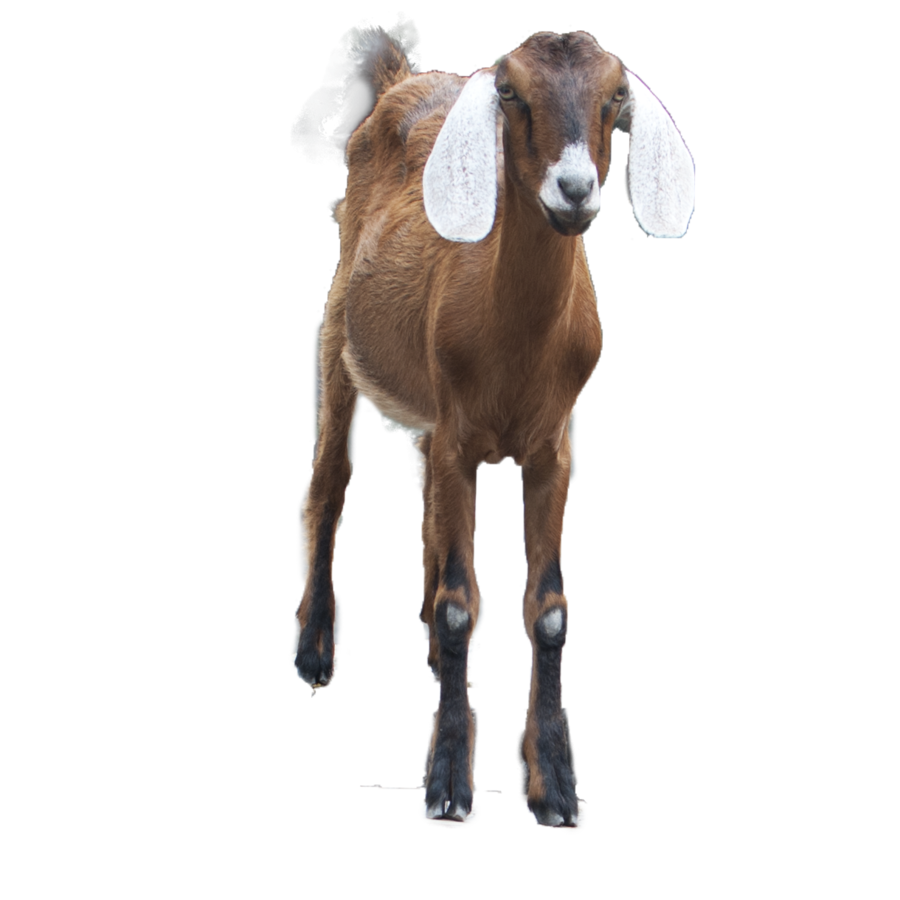 goat clipart male goat