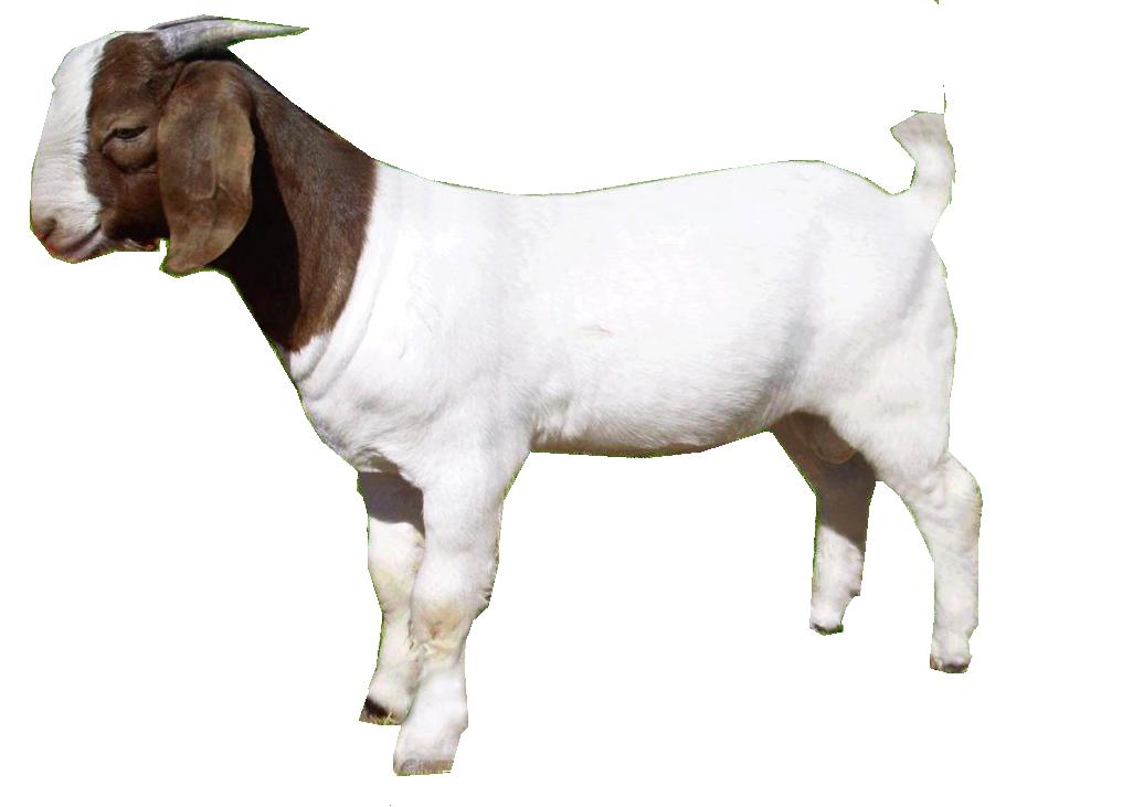 Goat clipart kambing. Png image purepng free