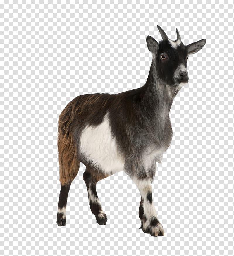 Black and white toggenburg. Clipart goat pygmy goat