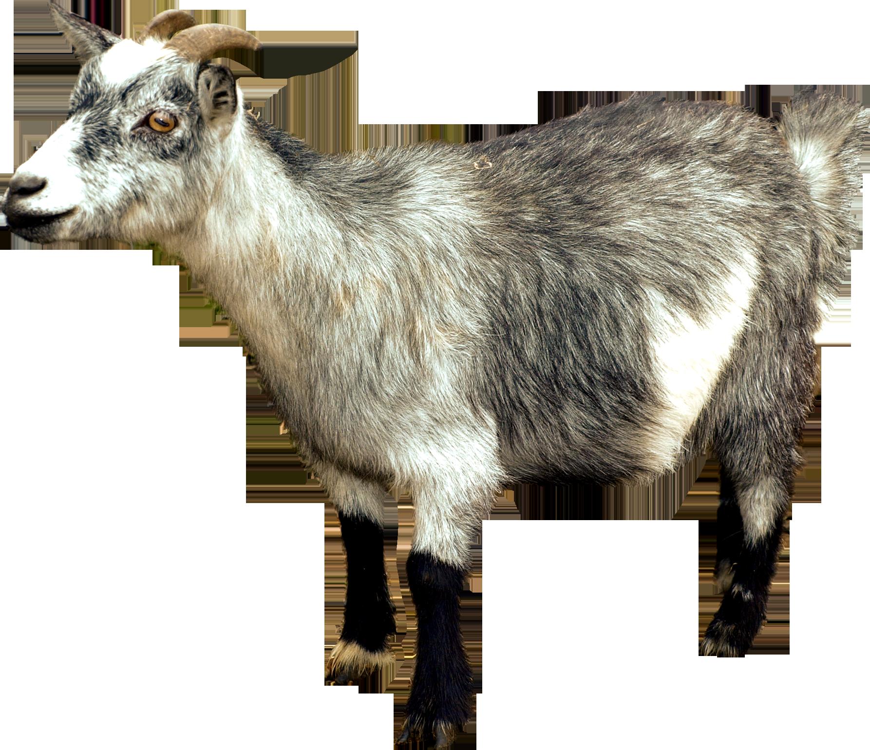 Goat clipart two goat.  dwarf goats cob
