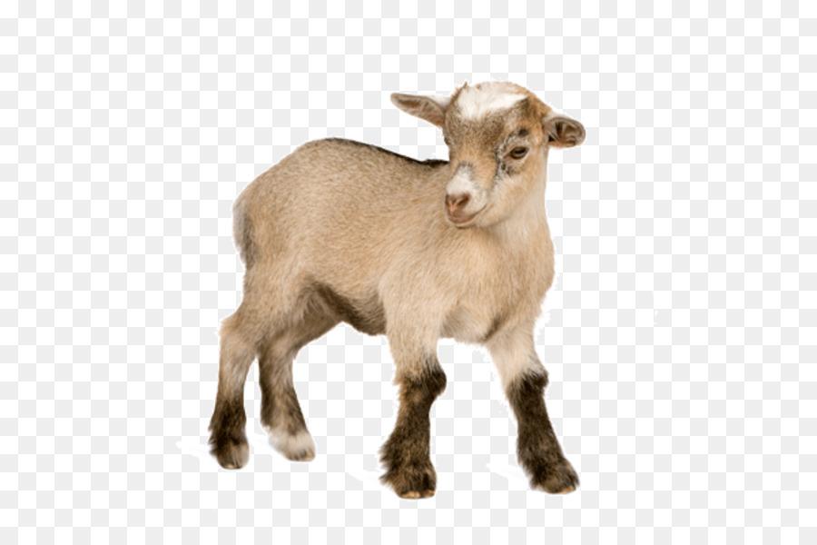 Clipart goat pygmy goat. Stock photography nigerian dwarf