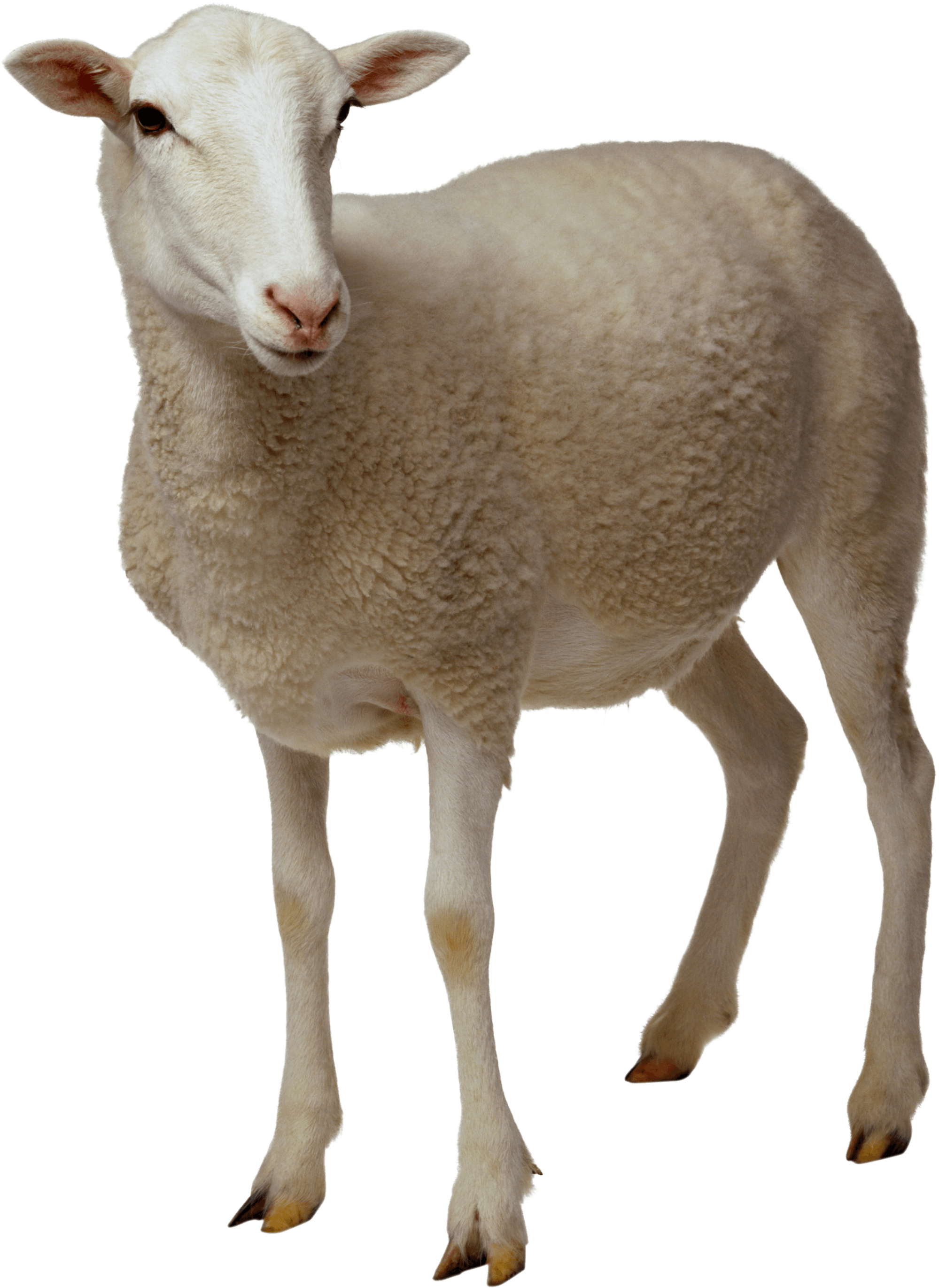 Looking transparent png stickpng. Clipart sheep brown sheep