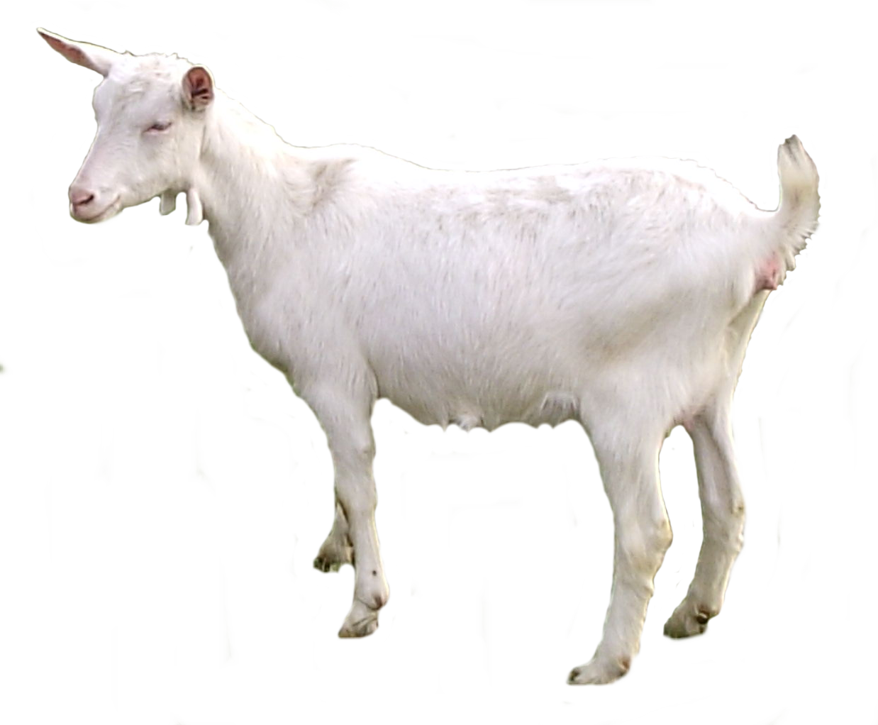 Female clipart goat. Png