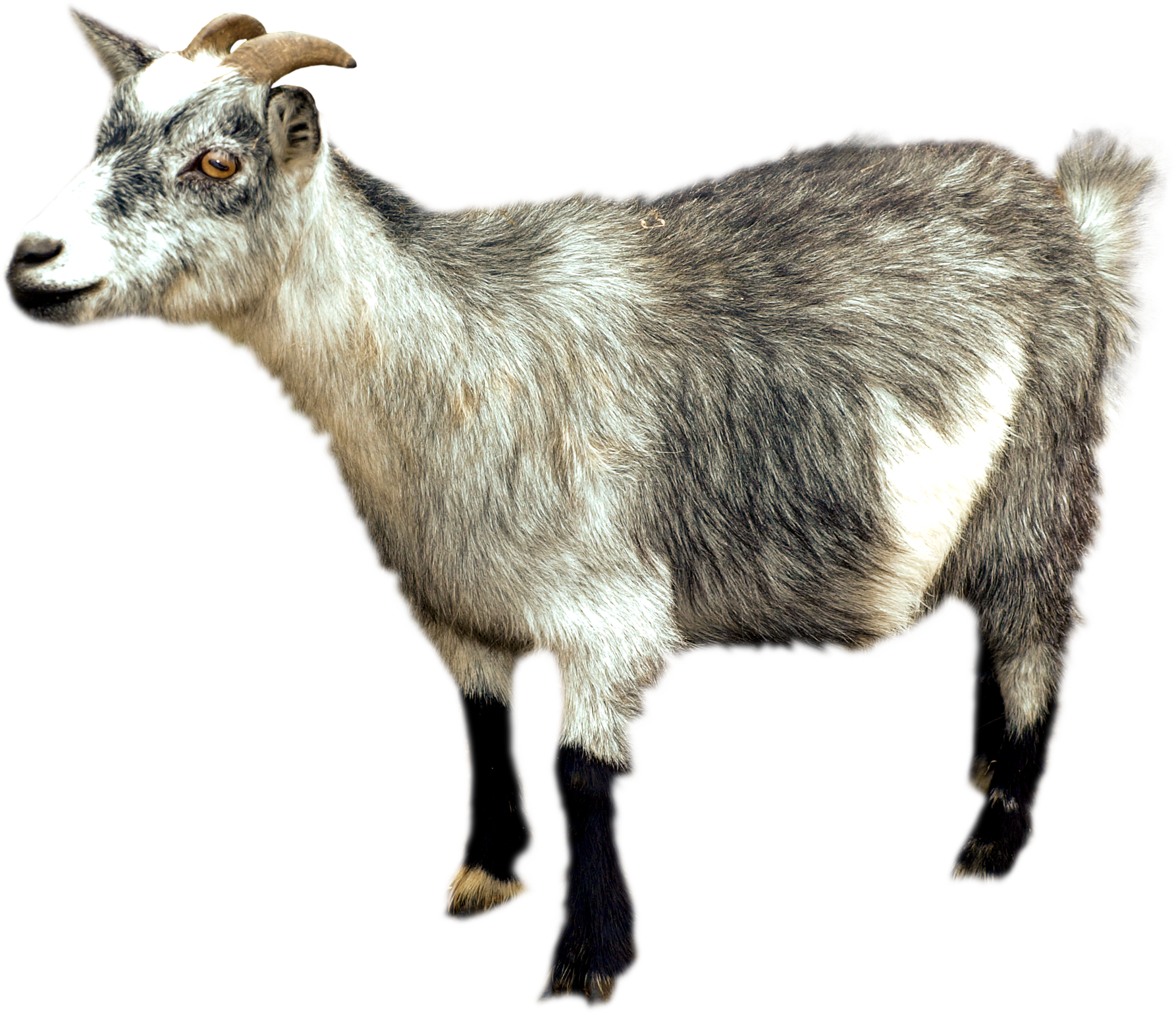 Clipart goat wild goat. Png