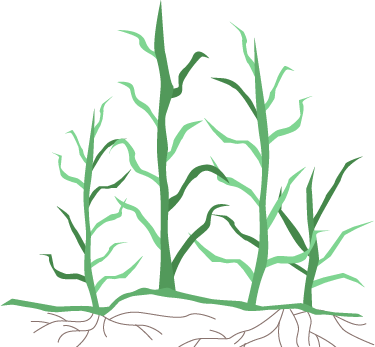 Clipart grass bermuda grass. Learn about your sod