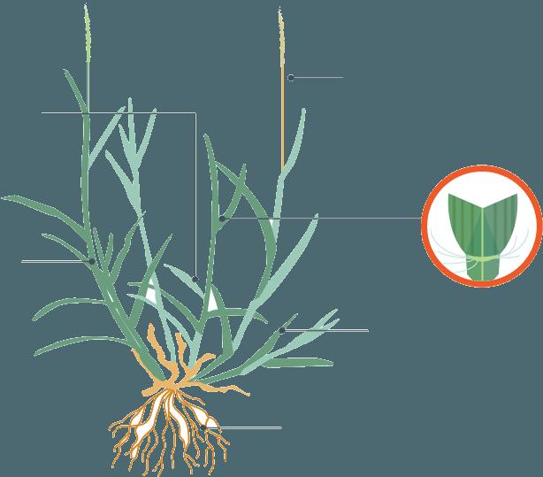Clipart grass bermuda grass. Zoysia cost and complete