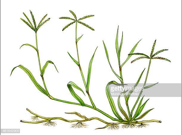 Portal . Clipart grass bermuda grass
