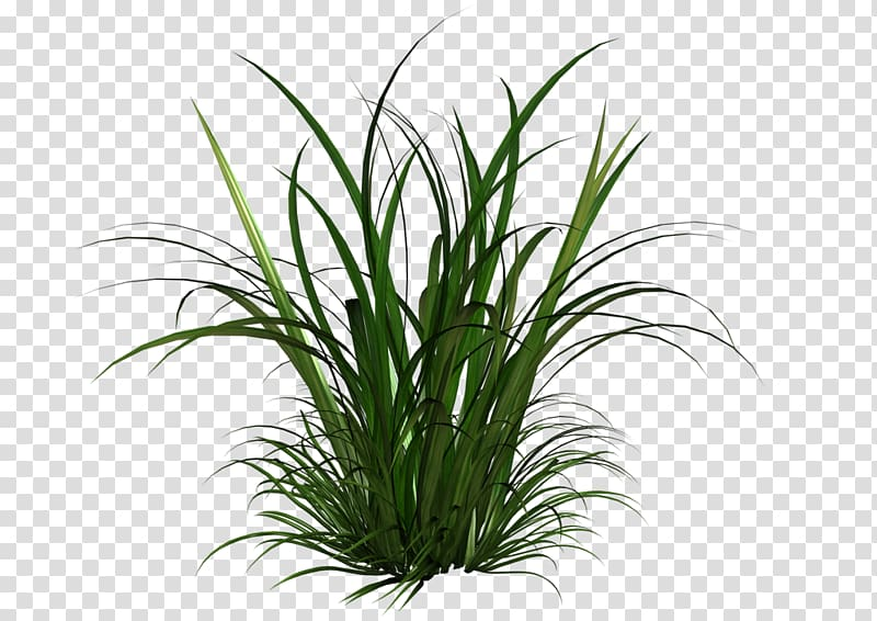 Illustration grasses and grains. Clipart grass bermuda grass