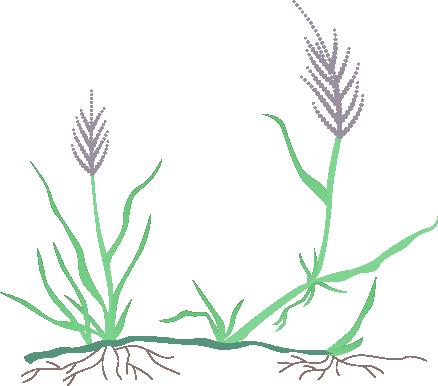Bentgrass sod god . Clipart grass buffalo grass