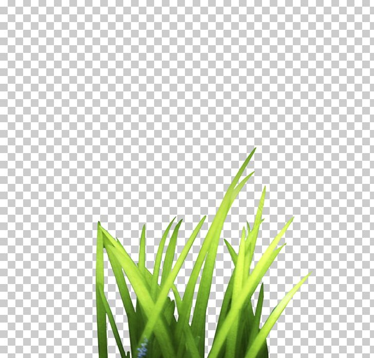 Clipart grass bunch. Google s tussock grasses